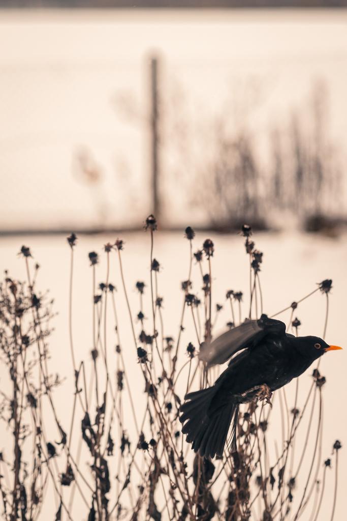 Amsel sitzt auf einem verblühten Zweig